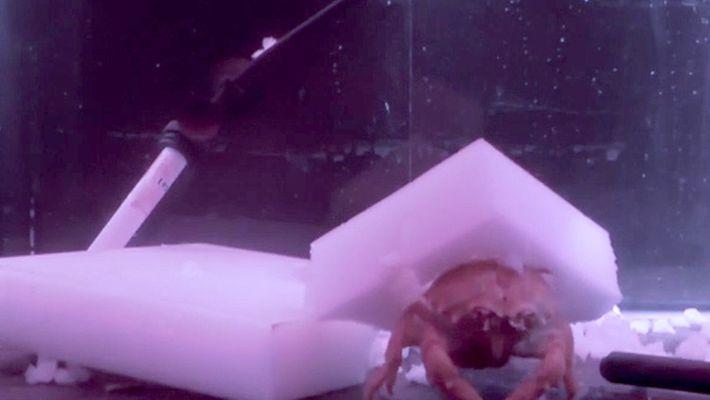 Veja Como Estes Caranguejos Constroem Uma Proteção