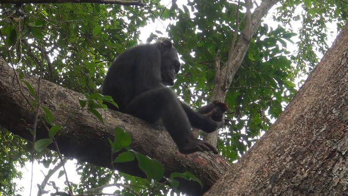 Primeiro Vídeo com Chimpanzés a Baterem Tartarugas para as Comerem