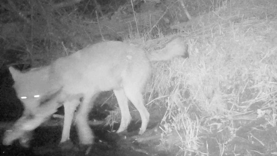 Primeiro Vídeo com Lobos a Apanhar e Comer Peixe