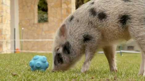Observe Porcos a Comunicar com Humanos em Novo Estudo