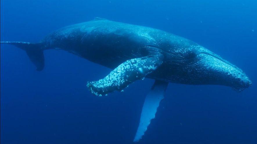 Regresso Deslumbrante das Baleias-jubarte à África do Sul