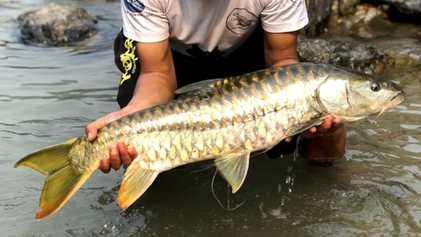 Este Peixe Dourado Sagrado Prospera no Butão
