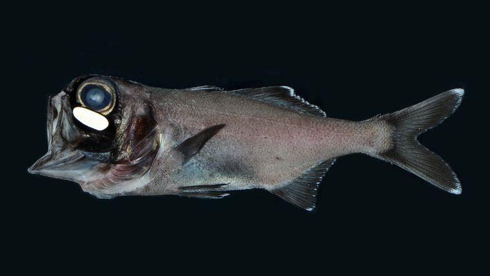 Veja Este Cardume de Peixes Pequenos Utilizar Bactérias Para Brilhar no Escuro