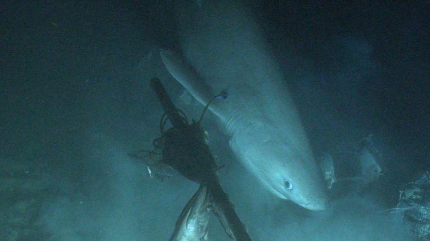 Tubarão Etiquetado de Submarino pela Primeira Vez na História