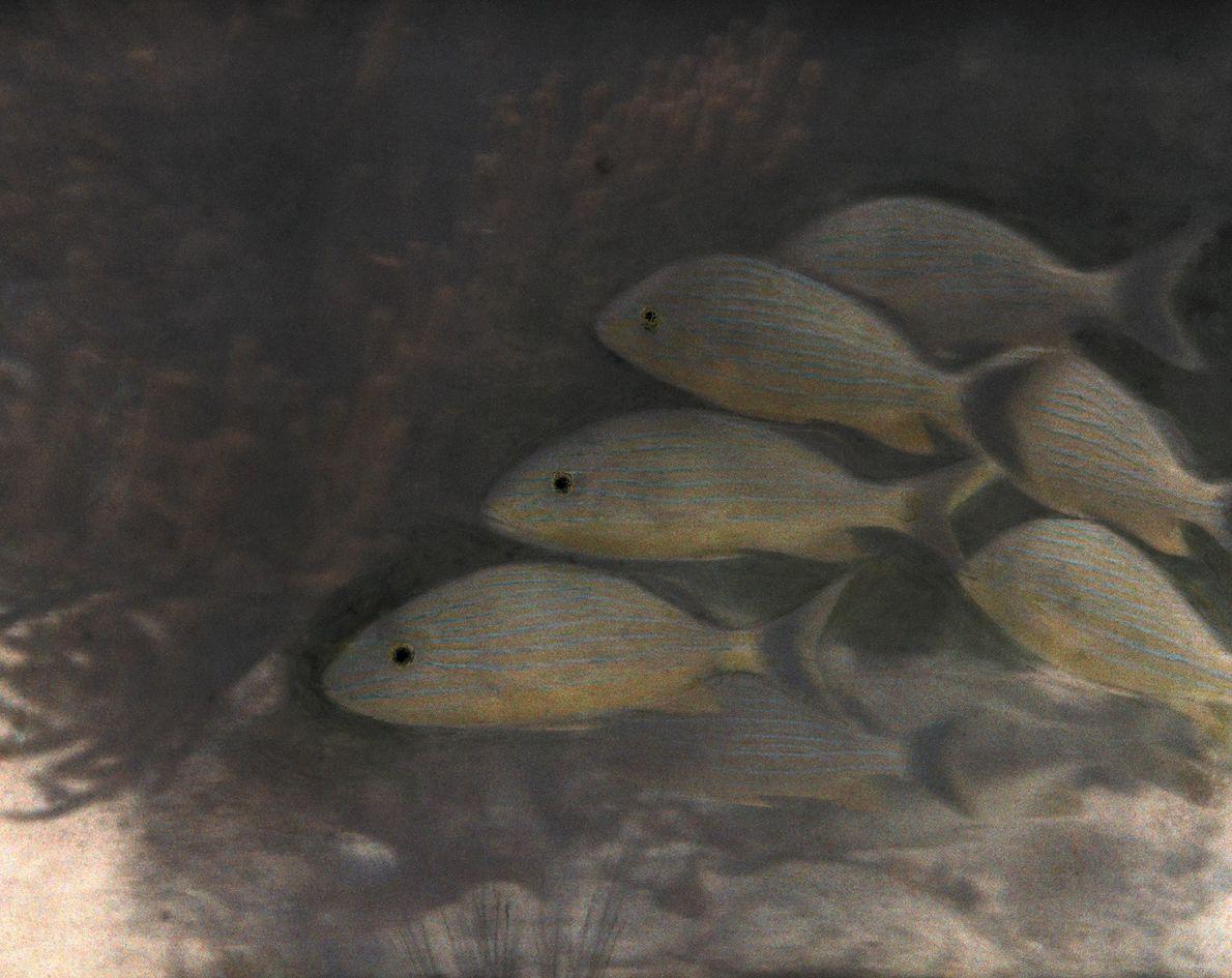 Peixes Vistosos
