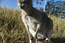 Canguru e cria