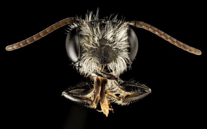 Este macho de Andrena perplexa foi fotografado em Maryland a 16 de março.