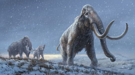 SUPORTAR O FRIO Há um milhão de anos, os mamutes-da-estepe siberianos tinham muitas das adaptações genéticas para ...