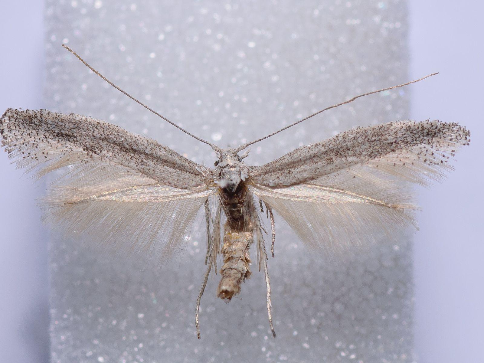 A nova espécie de borboleta nocturna, Mondeguina atlanticella.