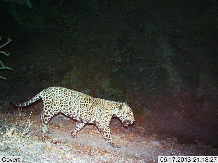 Esta fotografia de 2013 mostra um jaguar conhecido por 'El Jefe'. Este felino viveu nas montanhas ...
