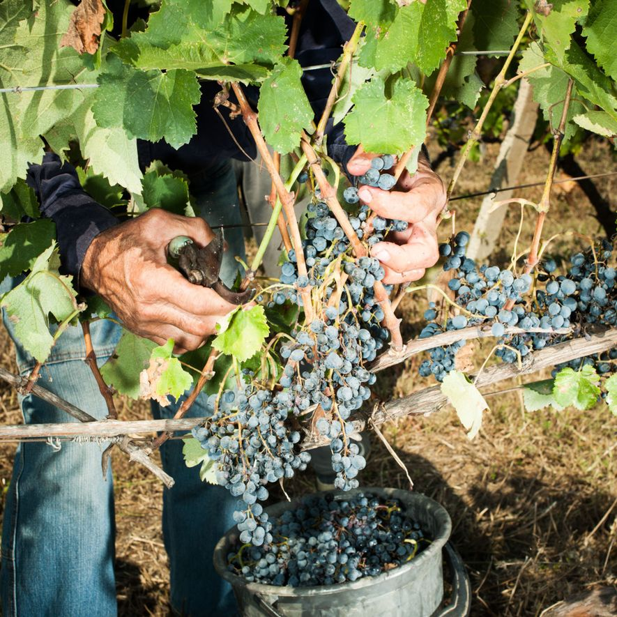 As uvas para a produção de vinho podem ter tido a sua origem no sopé das ...
