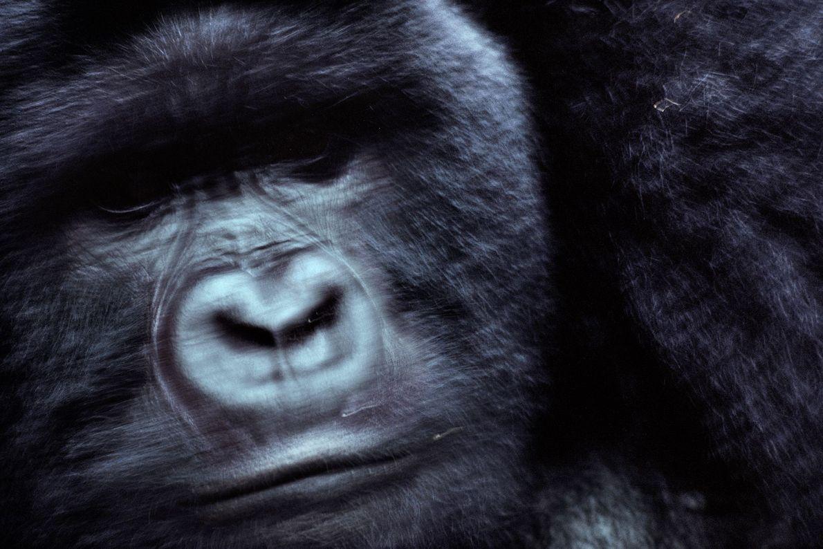Mrithi, um gorilla de costas prateadas
