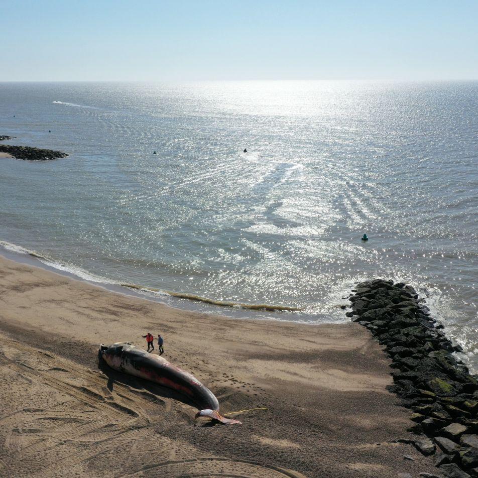 Porque é que as baleias encalham nas praias? A culpa pode ser parcialmente nossa.