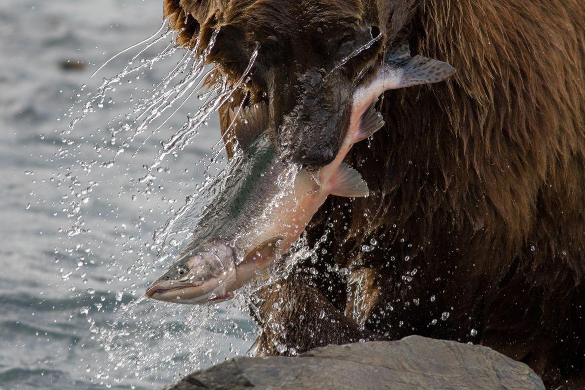 Salmão nas mandíbulas de um urso-pardo