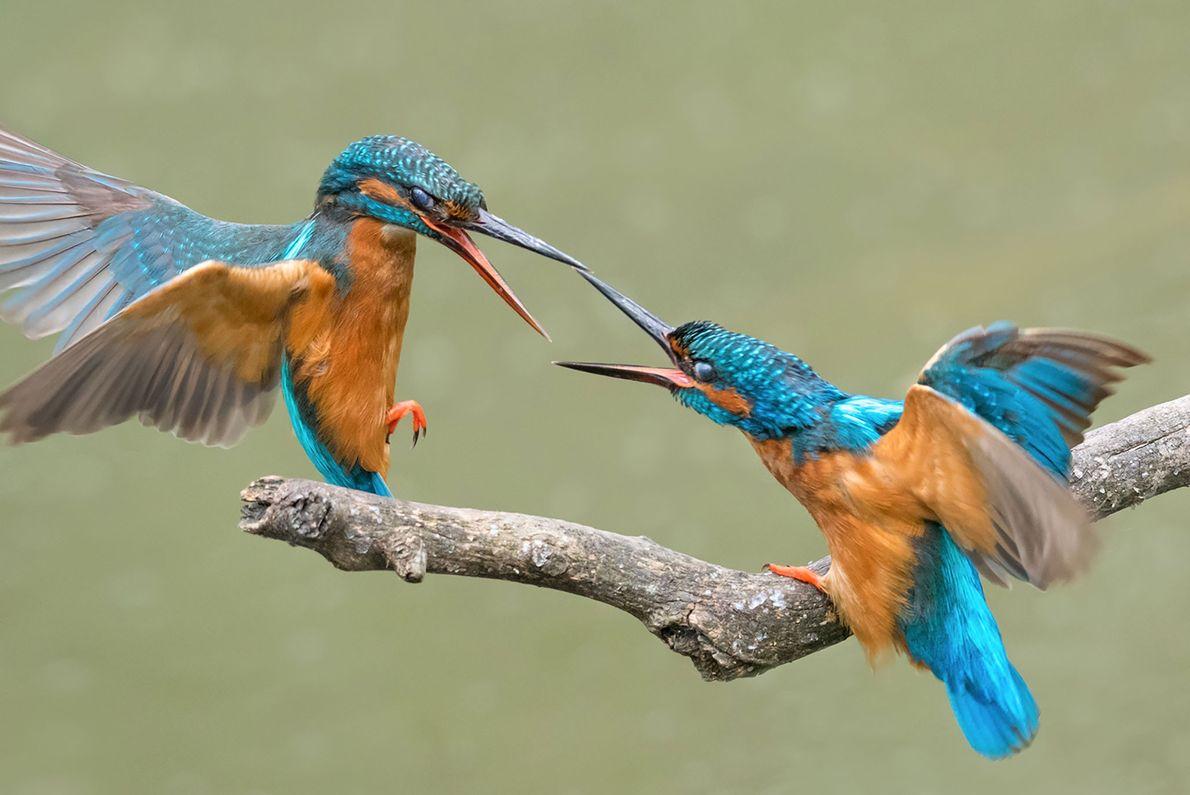 Dois guarda-rios-comuns disputam uma refeição.