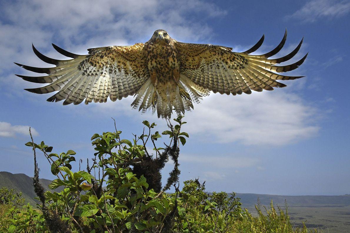 Falcão-das-galápagos