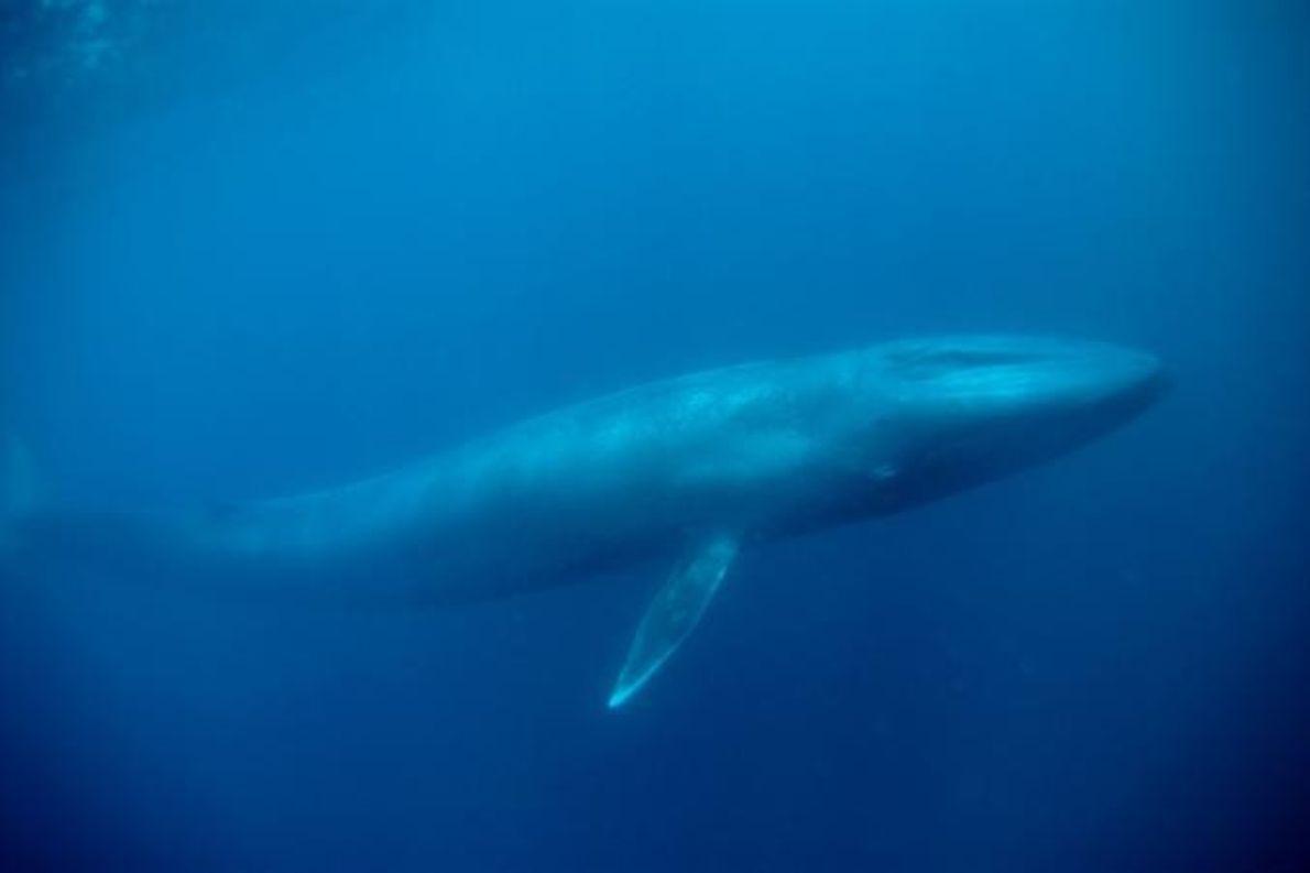 Uma baleia-azul.