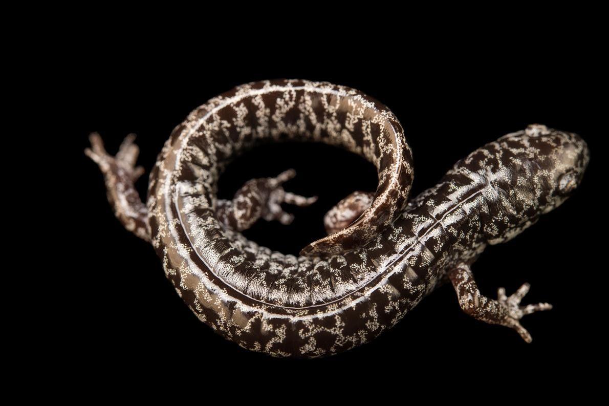 Uma salamandra da espécie Ambystoma cingulatum, no Jardim Botânico de Atlanta. Esta espécie está identificada como ...