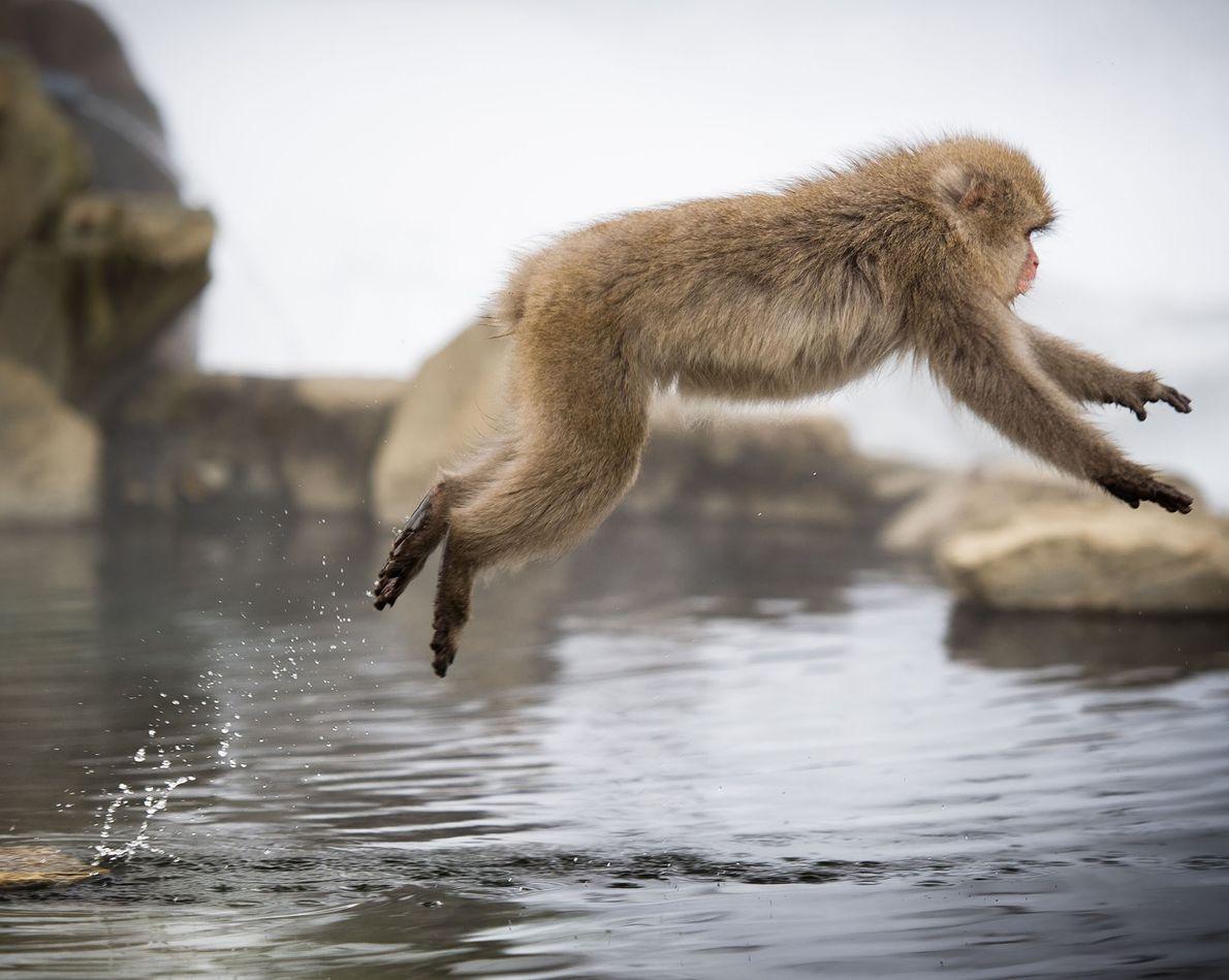 macaco japonês salta sobre nascentes de água quente