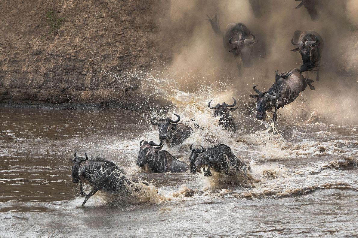 Gnus. Masai Mara, Vale do Rift, Quénia