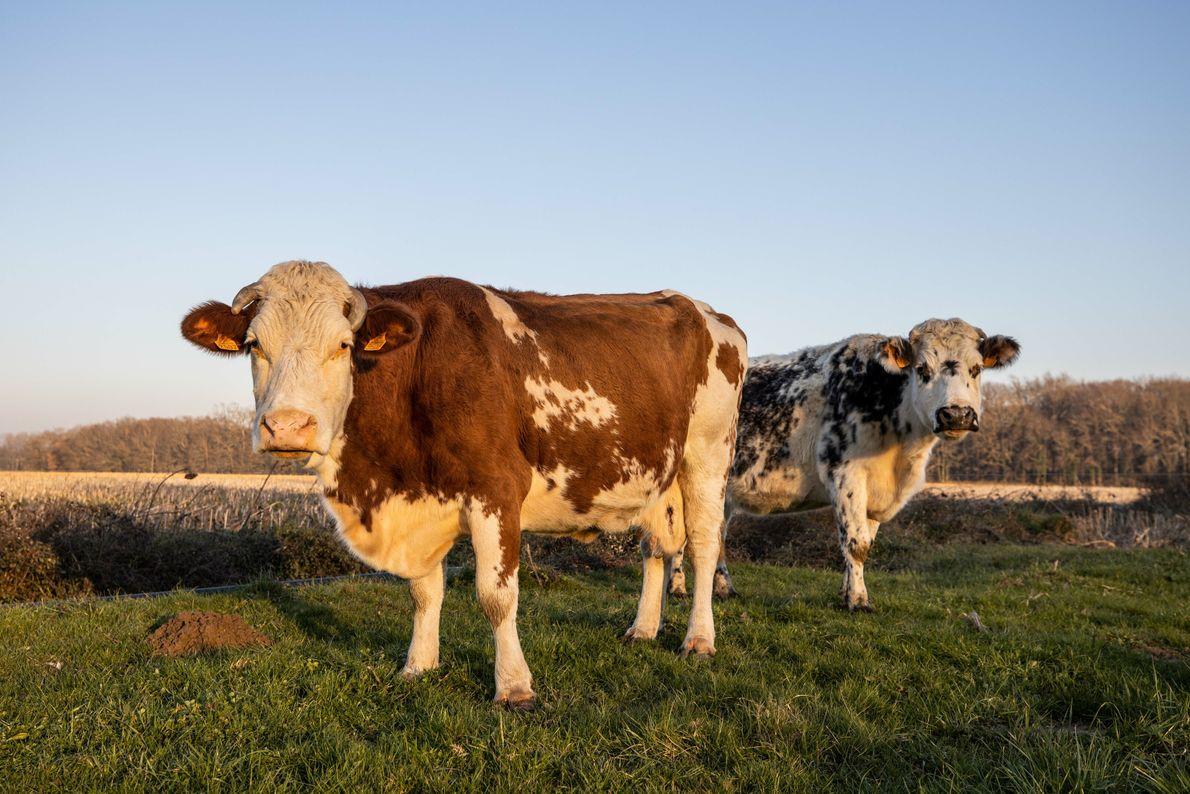 Duas vacas olham para o fotógrafo