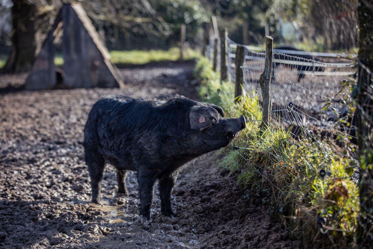 porco Gascon