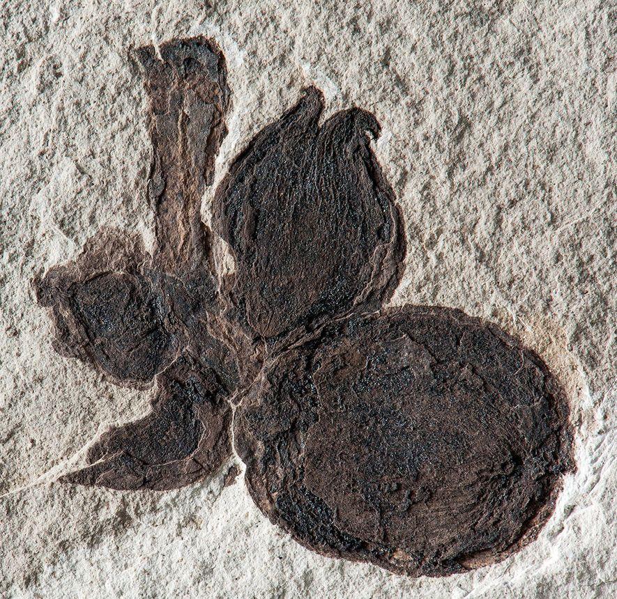 Uma imagem aproximada mostra o fóssil de uma espiga madura de Castanopsis, com quatro nozes, escura ...