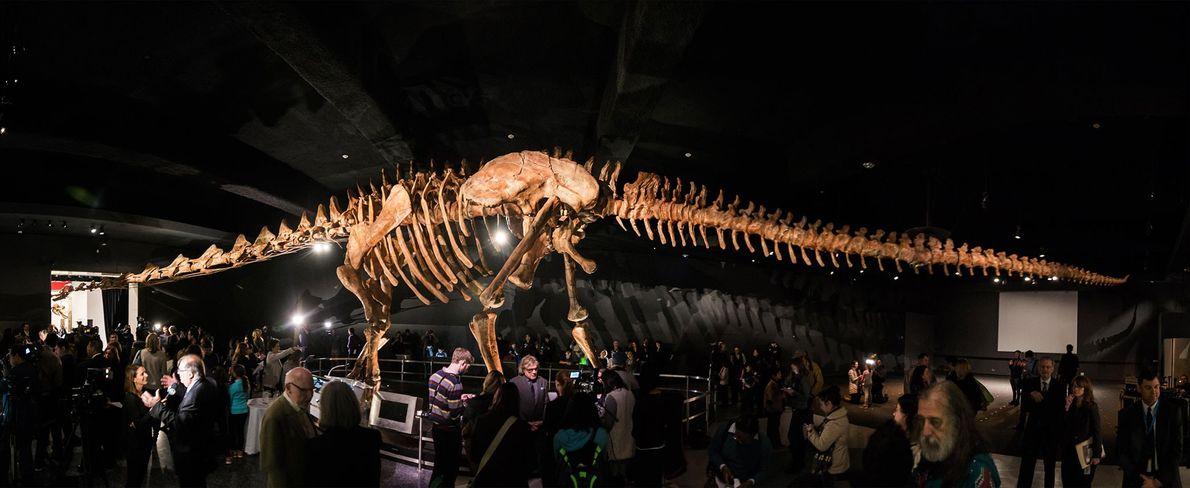 reconstrução maciça de um saurópode titanossauro, instalado no Museu Americano de História Natural, em Nova ...