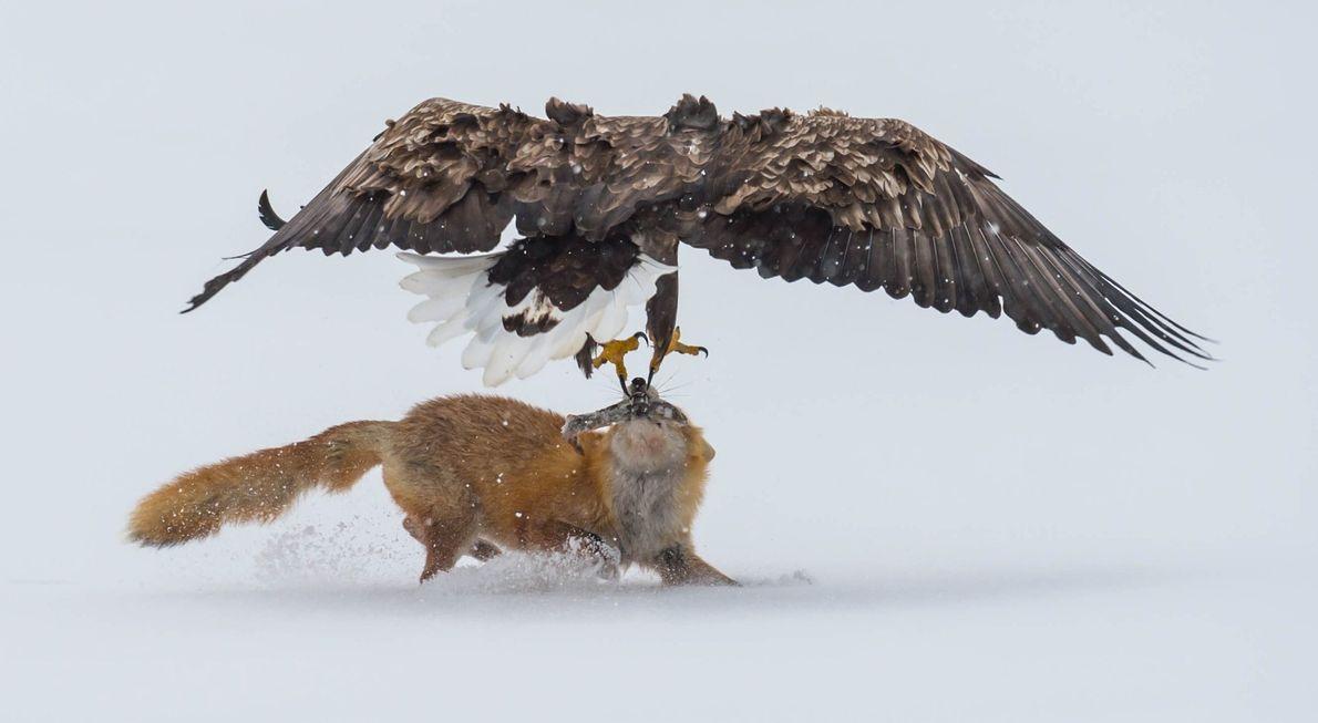 Uma águia-rabalva e uma raposa de Hokkaido