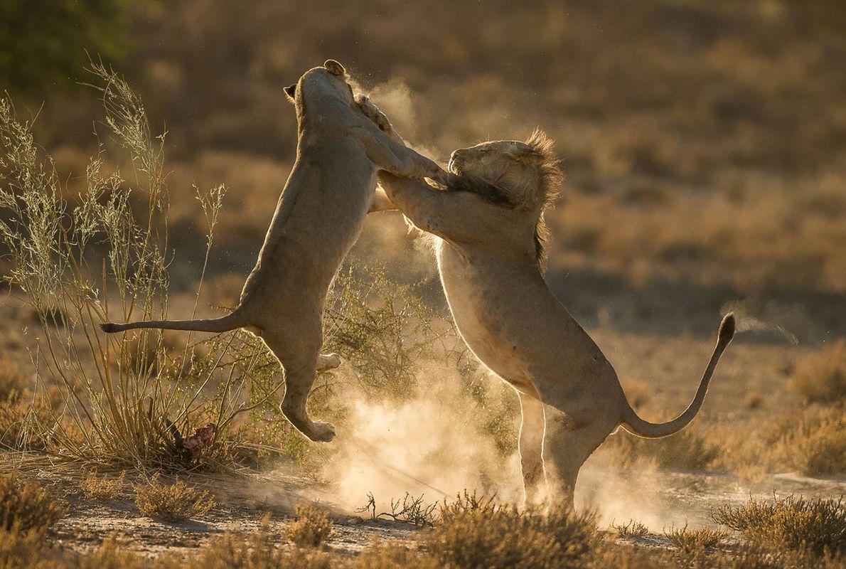 Leões lutam na África do Sul.