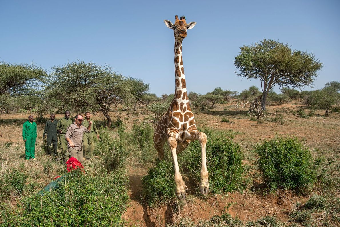 Uma girafa é libertada na natureza.