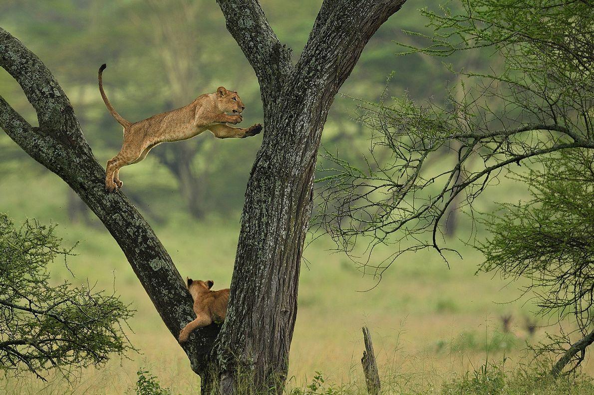 leão salta de um ramo no Parque Nacional do Serengeti, na Tanzânia