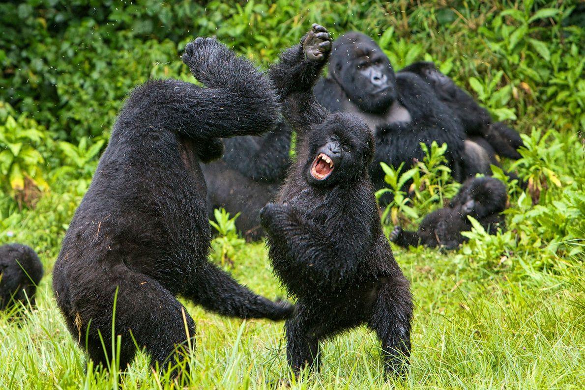 Gorilas-das-montanhas combatem no Ruanda.