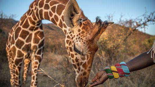 Como Salvar a Girafa, o Animal Mais Alto do Mundo
