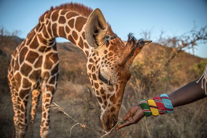 Uma girafa órfã é alimentada pelo seu cuidador.