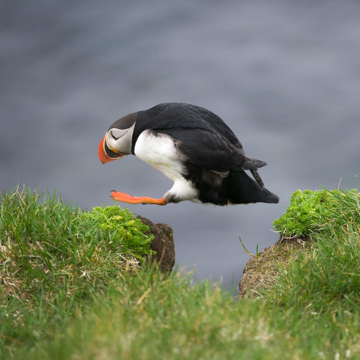 papagaio-do-mar salta sobre um buraco