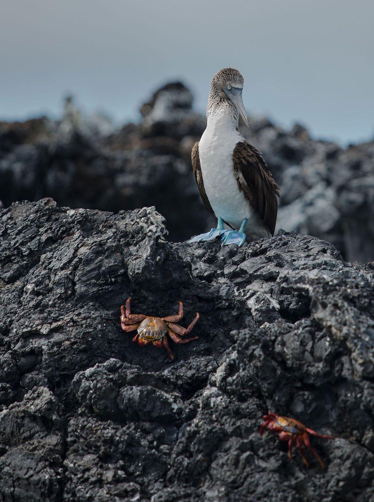 Ganso-patola-de-pés-azuis. São Cristóvão, Galápagos, Equador