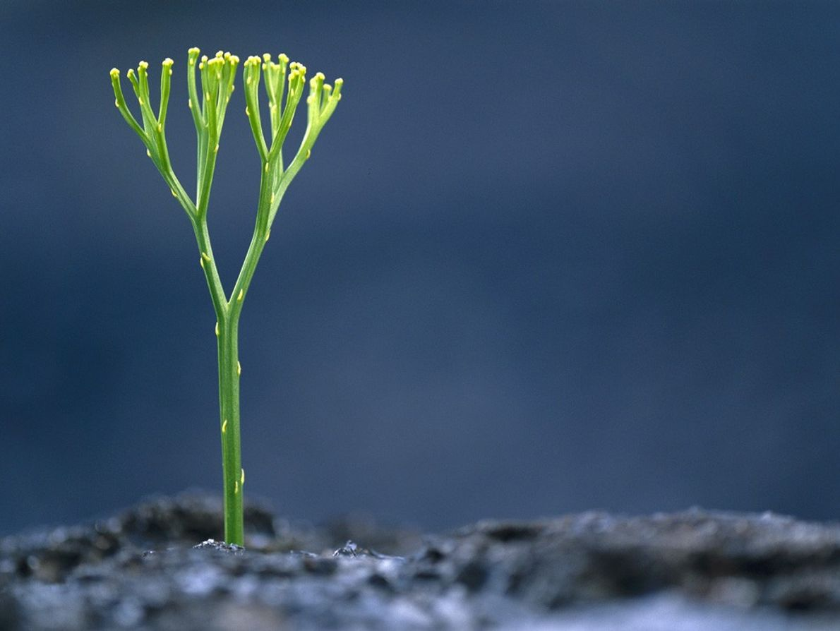 Uma planta vascular do filo das Psilófitas.