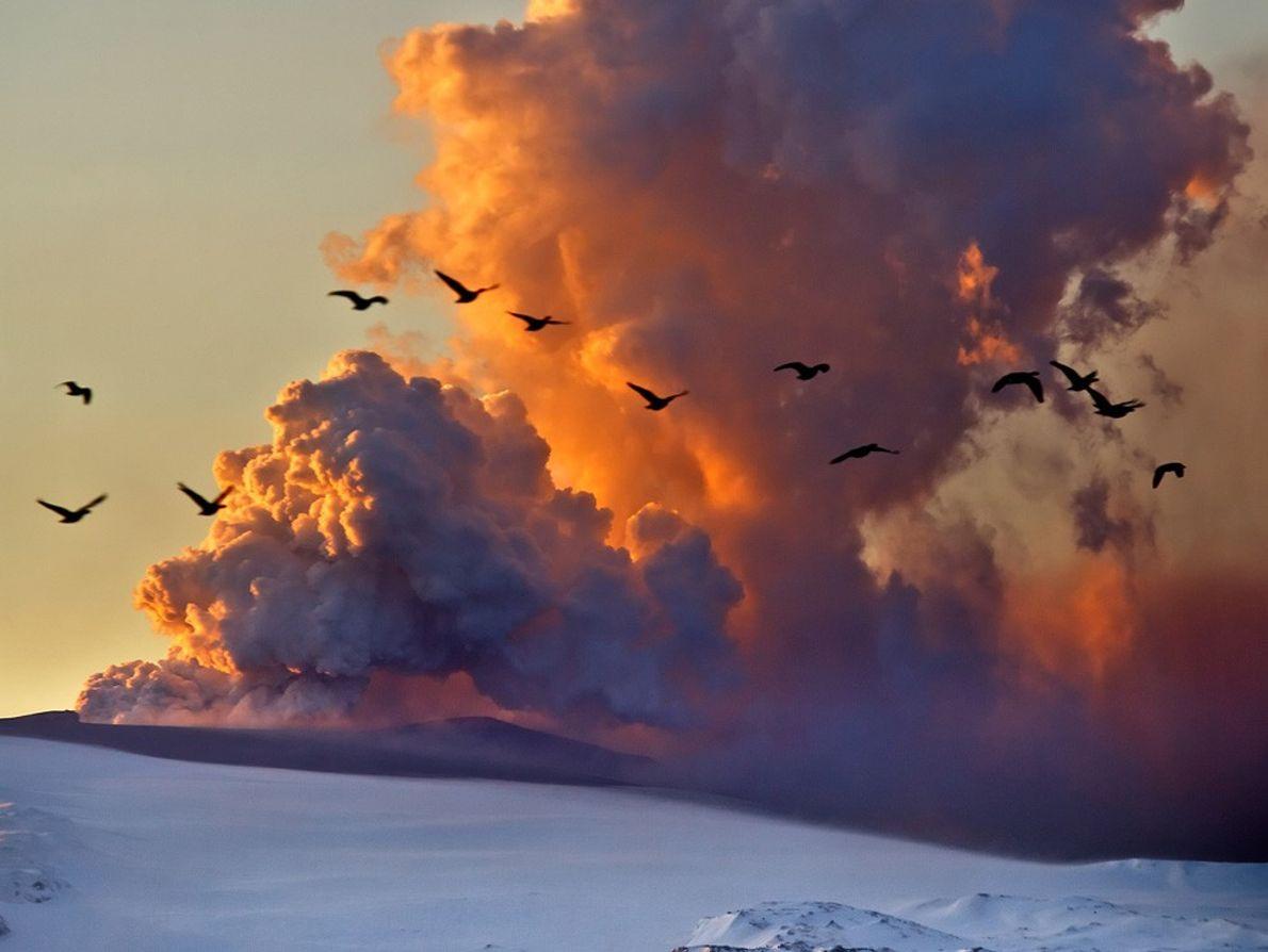 Gansos voam nas proximidades de uma nuvem de cinzas, que se formou na sequência da erupção ...