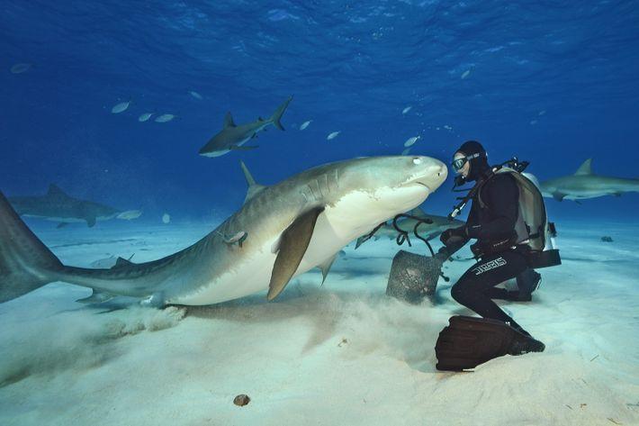 Fotografia de Brian Skerry com um tubarão.