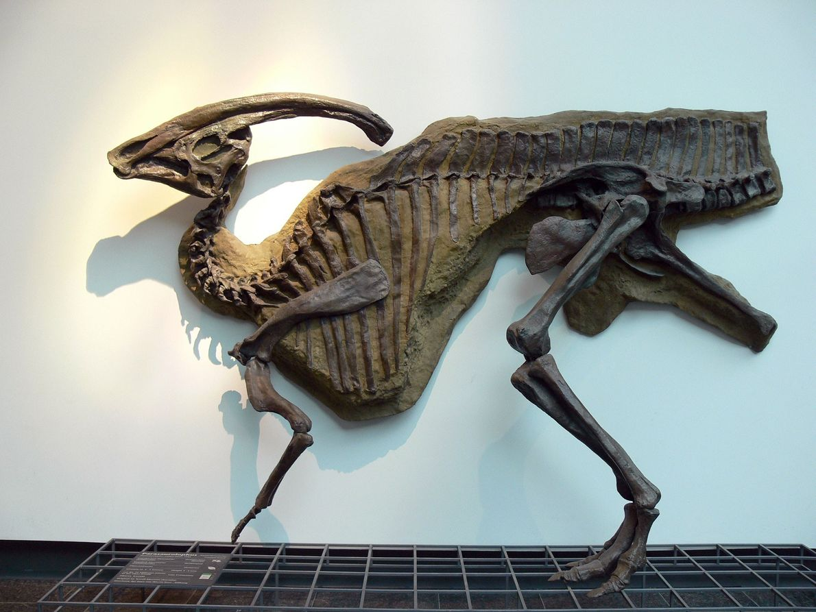 Este molde, do extravagante hadrossauro com crista em bico de pato Parasaurolophus walkeri, está em exibição ...