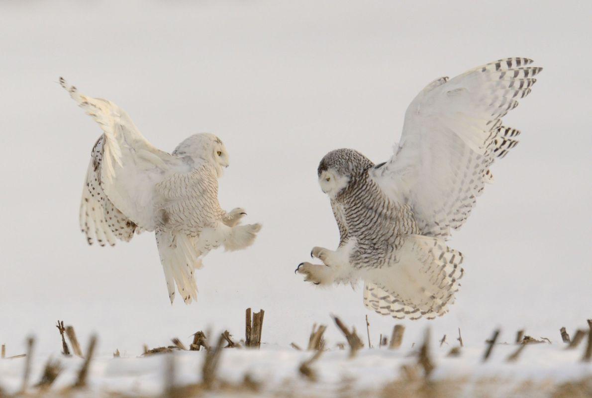 Duas corujas-das-neves confrontam-se na Pensilvânia.