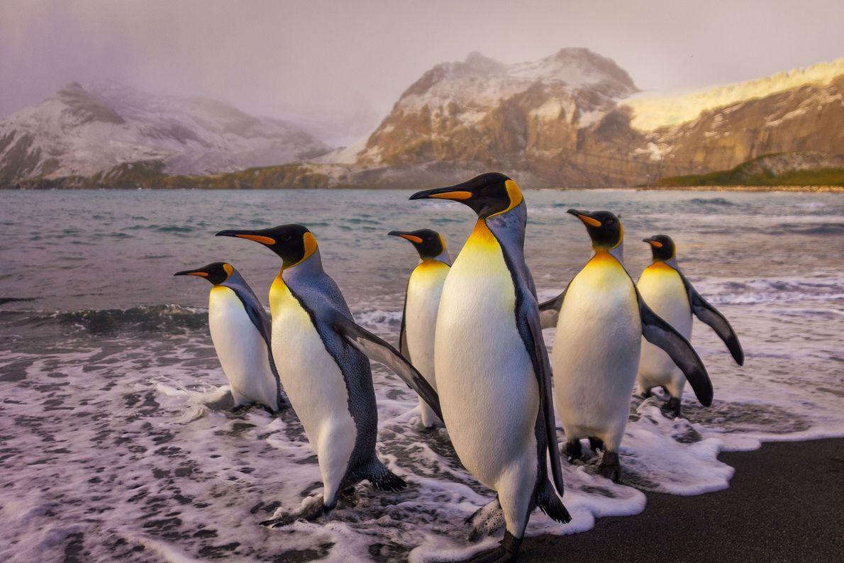 Pinguins-rei. Ilha da Geórgia do Sul.
