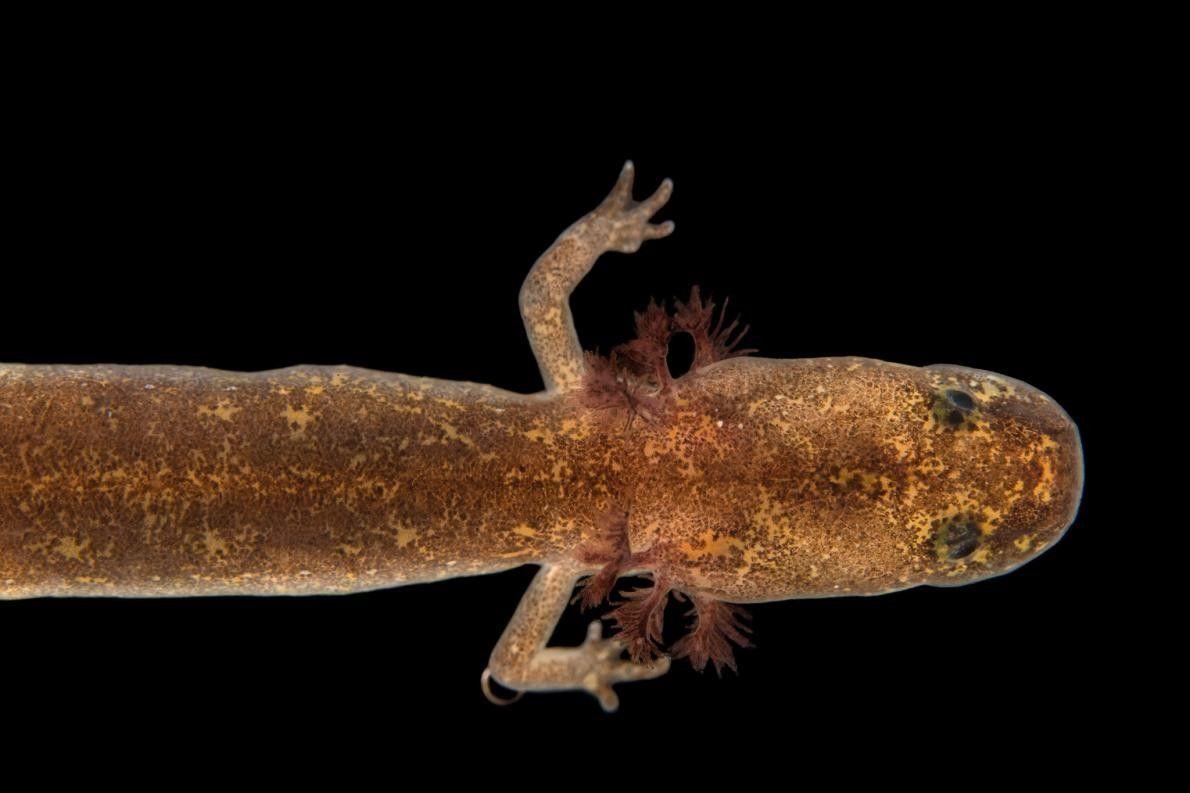 Uma salamandra da espécie Eurycea chisholmensis no Jardim Zoológico de Dallas.