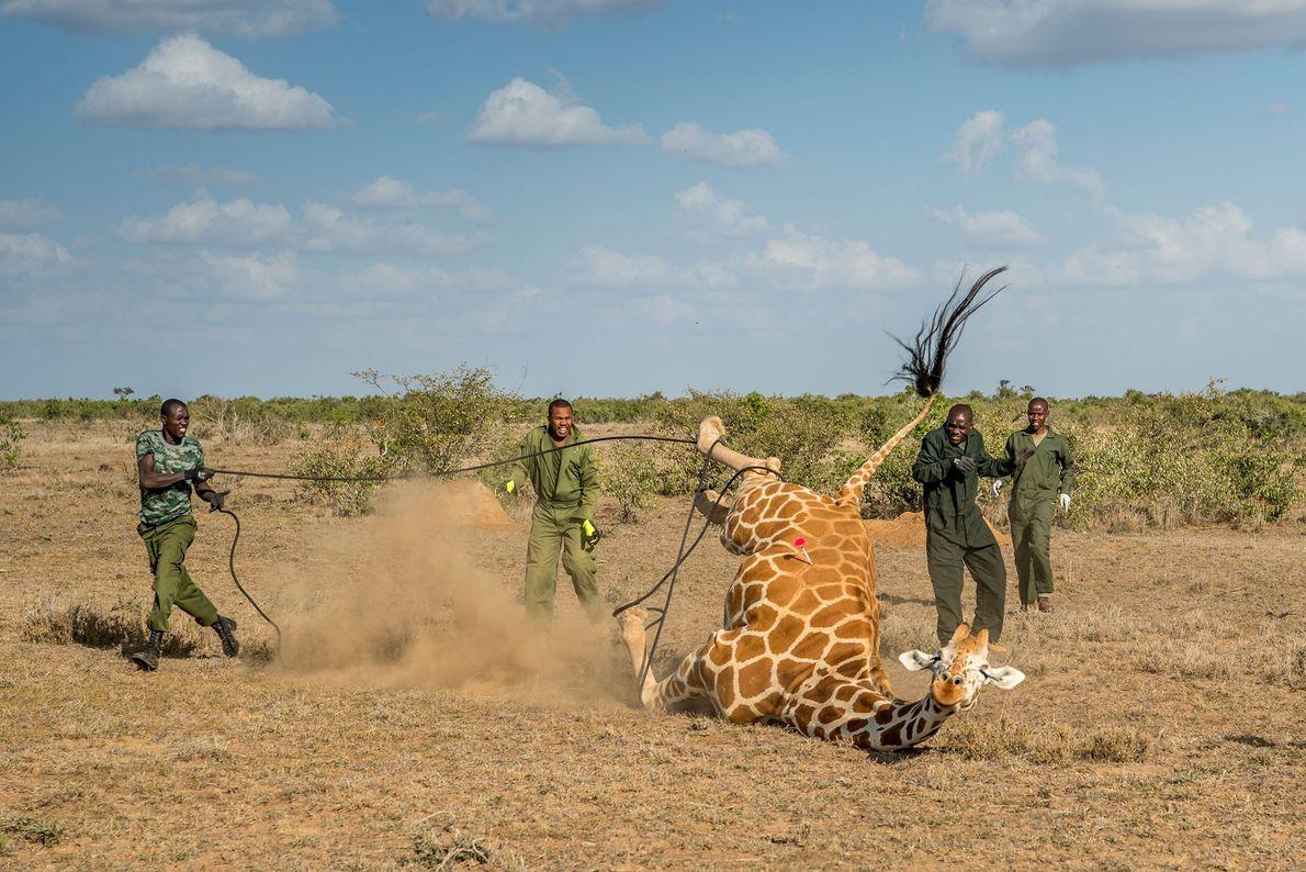 A população de girafas está reduzida a 8700 indivíduos.