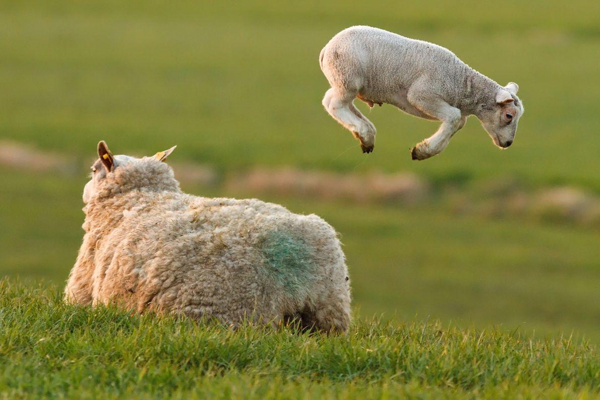 cordeiro dá saltos num prado