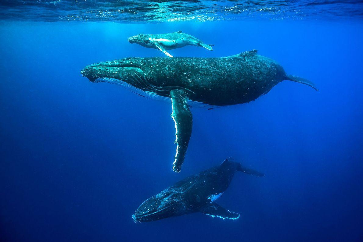 Baleia-corcunda, Tonga
