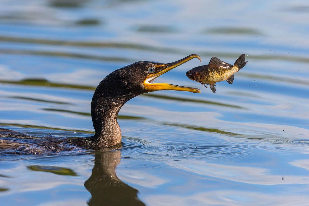 Corvo-marinho-de-orelhas