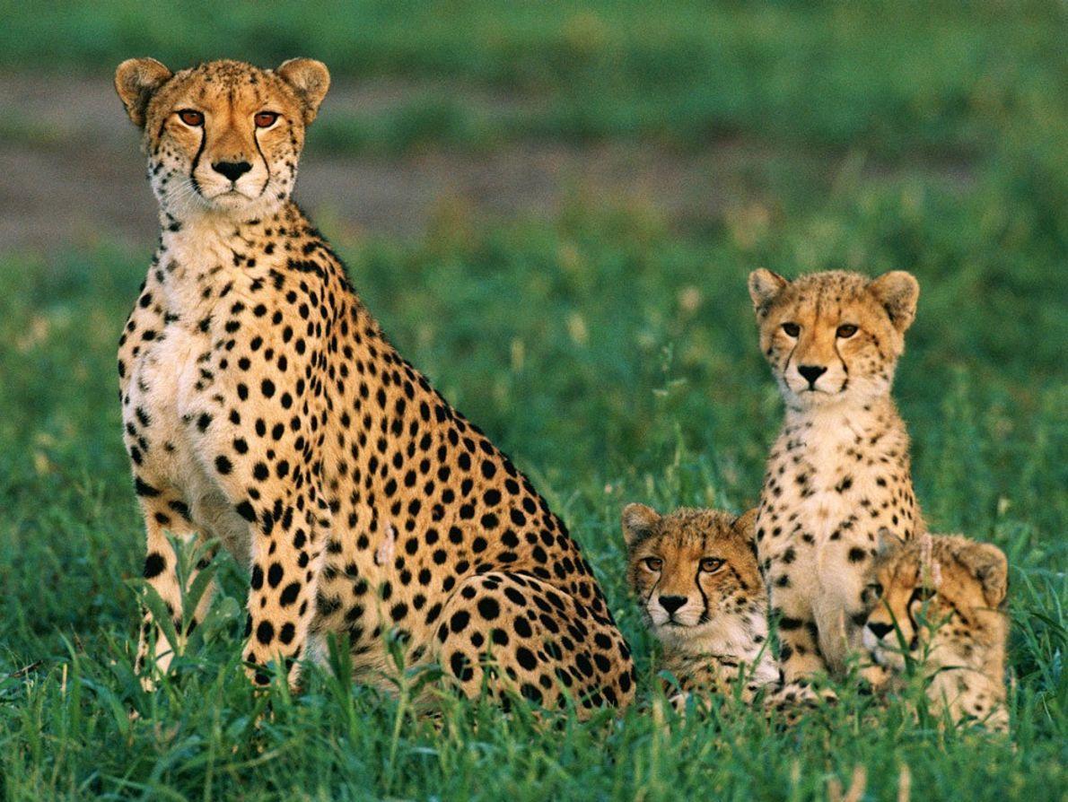 Tipicamente, as mães chita dão à luz uma ninhada de três crias, que com ela permanecem ...