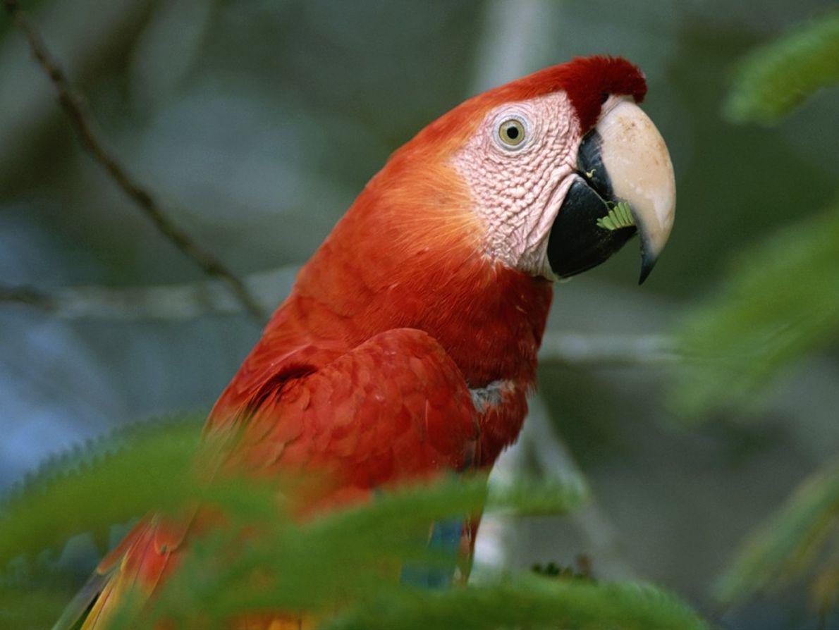 Uma arara de cor escarlate é fotografada a trincar um petisco na floresta tropical da Amazónia, ...